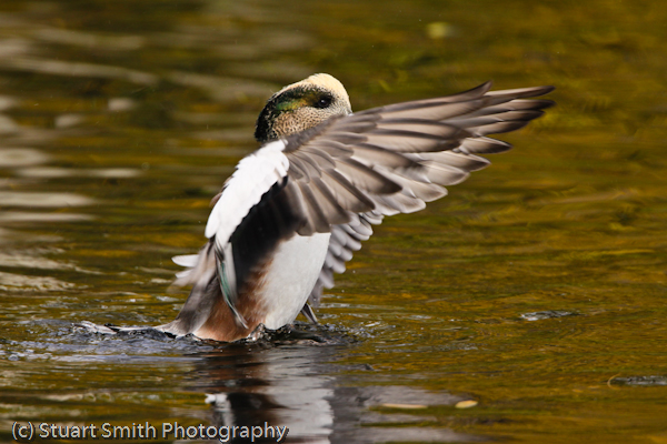 Wigeon exercises its wings -1268