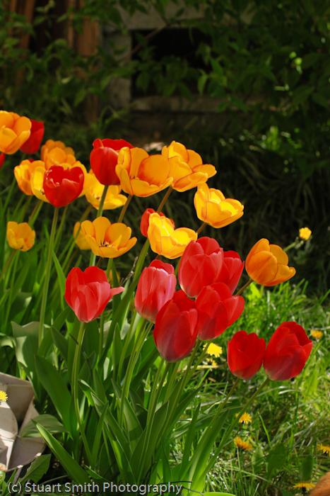 Tulips at Sunrise-1826