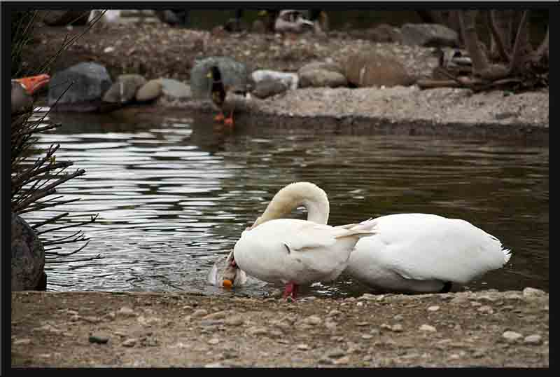 The white goose cannot stop the swan from putting the goose underwater again...