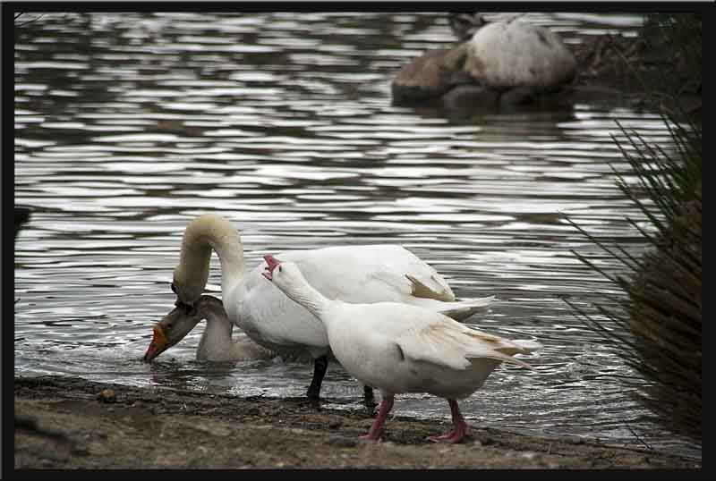 The white goose tells the swan exactly what it thinks!