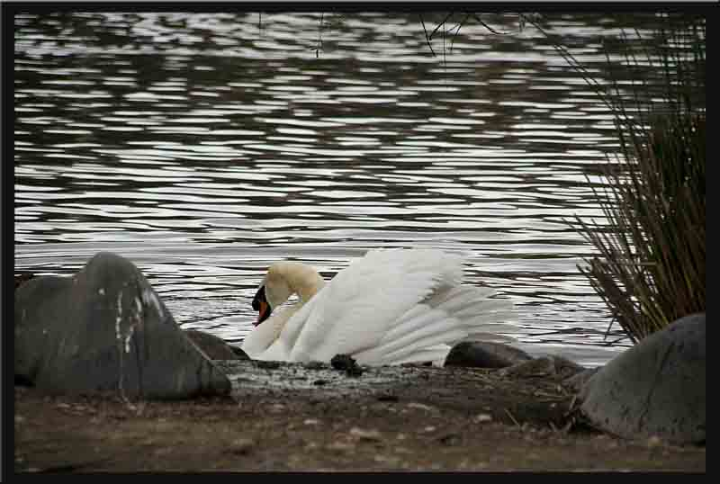 The swan still has ruffled feathers...