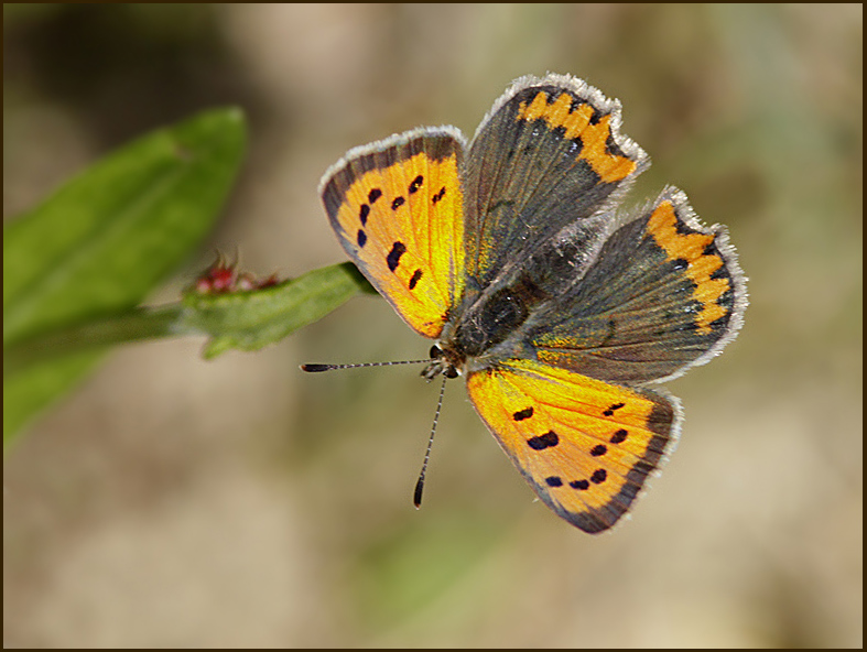 Small Copper, Mindre guldvinge   (Lycaena phlaeas)..jpg