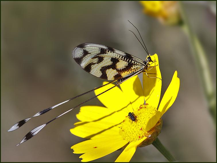 Threadwing, or Spoonwing Lacewing   (Nemoptera sinuata).jpg