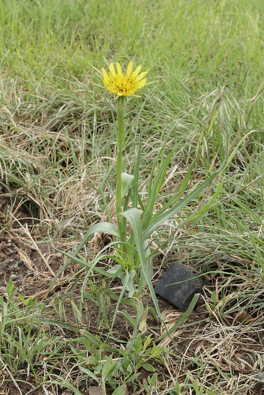Western Salsify Weed #213 (9270)