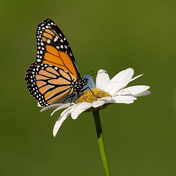 Monarch and Daisy