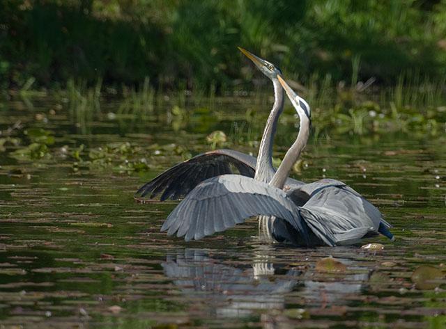 Dance of the Herons