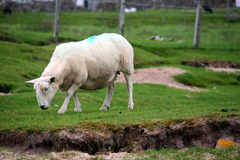 Sheep Mellon Udrigle