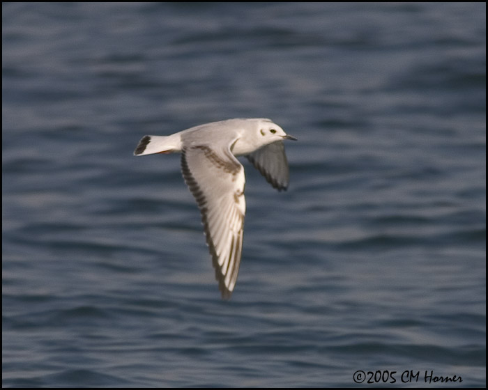 0076 Bonapartes Gull first winter.jpg