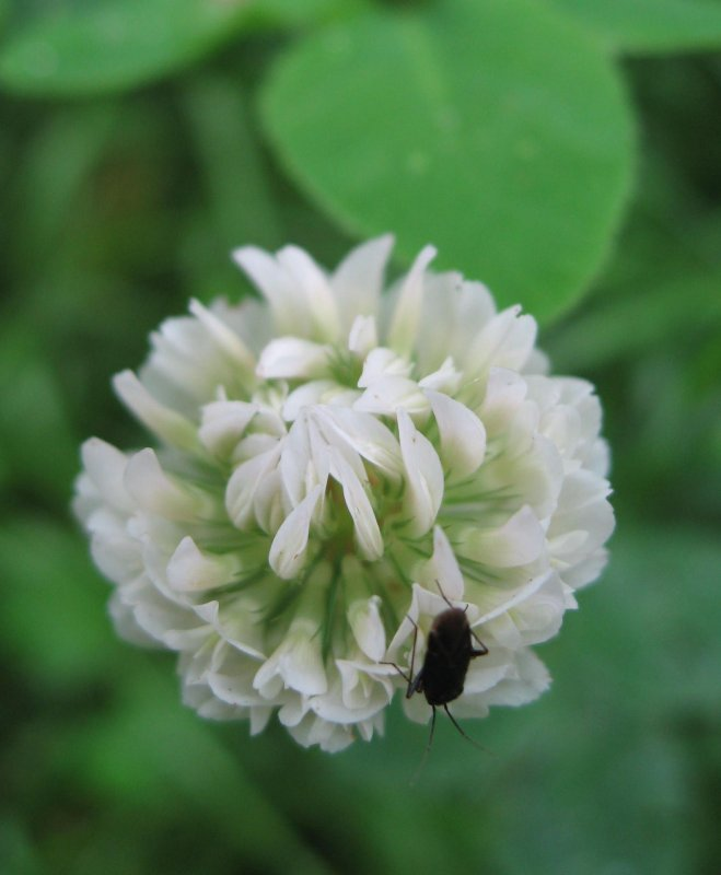 White Trefoil And A Black Beetle