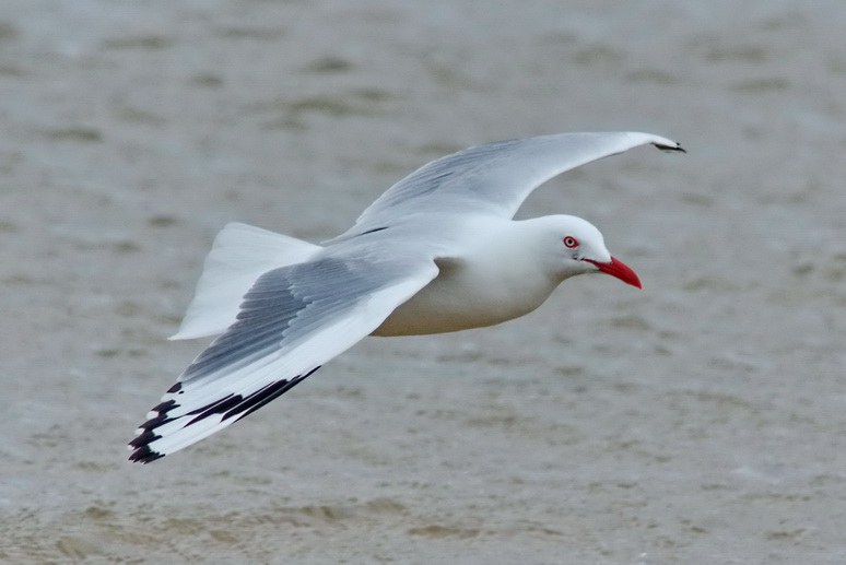 Silver Gull or Australian Seagull