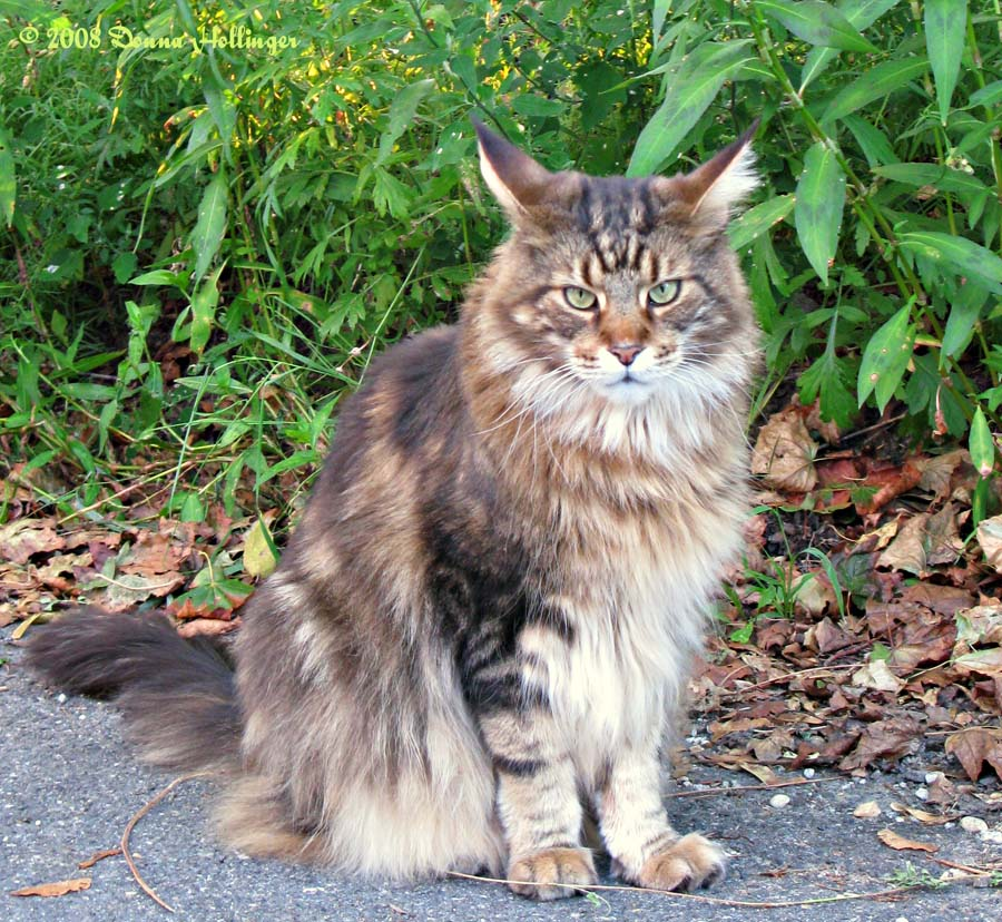 Augie, Maine Coon Cat