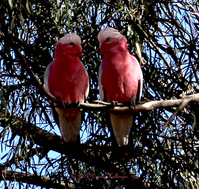 Two Galahs At Pat and Rays Farm