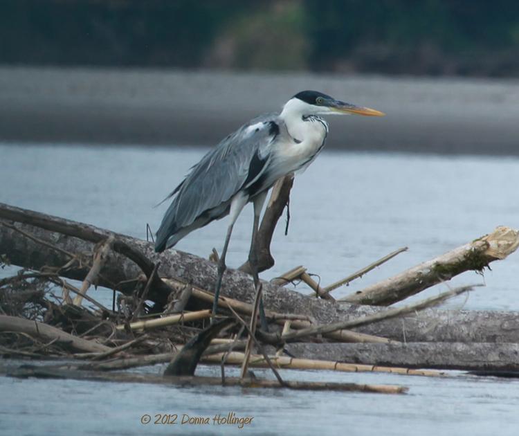 Cocoi Heron on the Napo River
