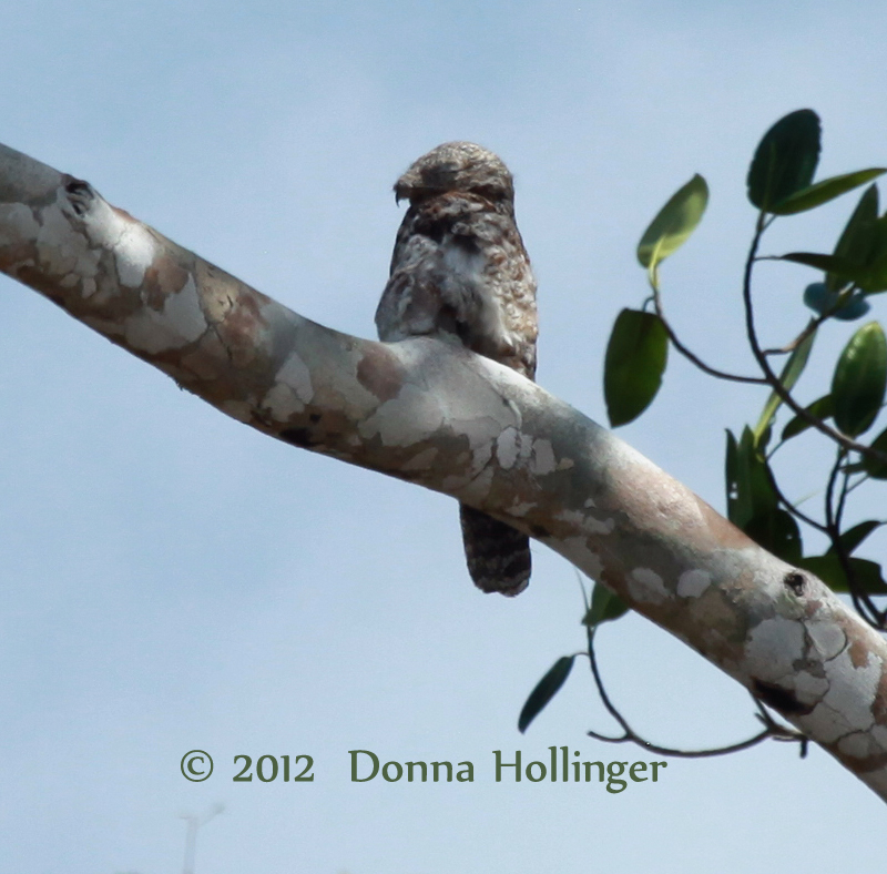 Great Potoo out in the open!