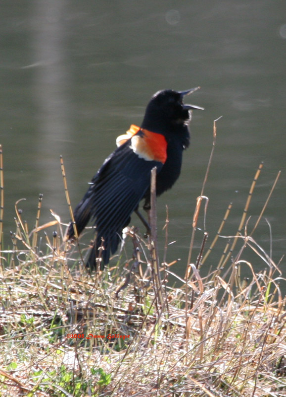 Red Winged Black Bird Defending His Territory