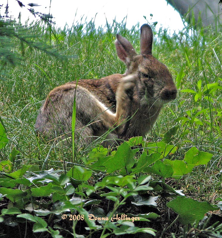 Hare Scratching