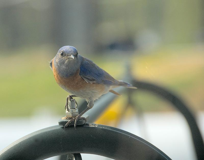 Bluebird Comes Visiting