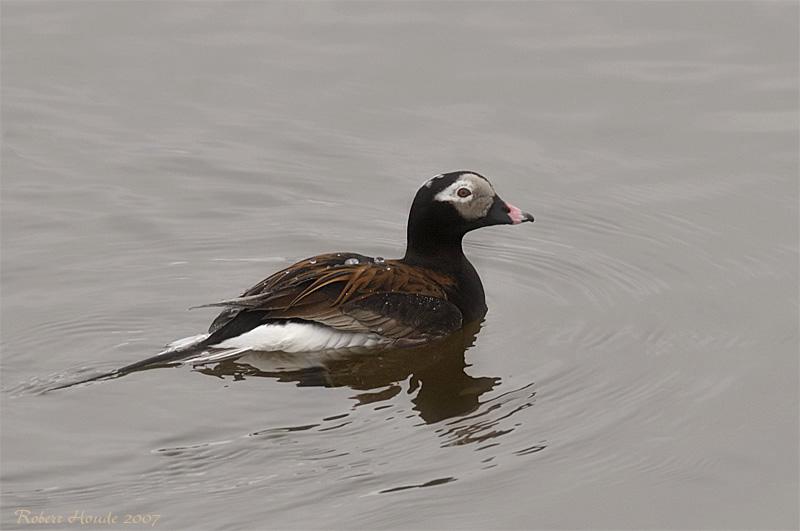 Kakawi -- Canard à longue queue -- Long-tailed Duck -- _MG_1446