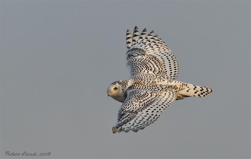 Harfang des neiges -- _E0K9057 -- Snowy Owl
