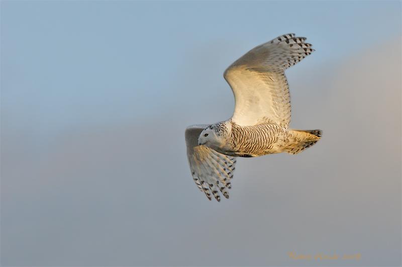Harfang des neiges -- _E0K9049 -- Snowy Owl