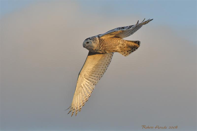 Harfang des neiges -- _E0K9048 -- Snowy Owl