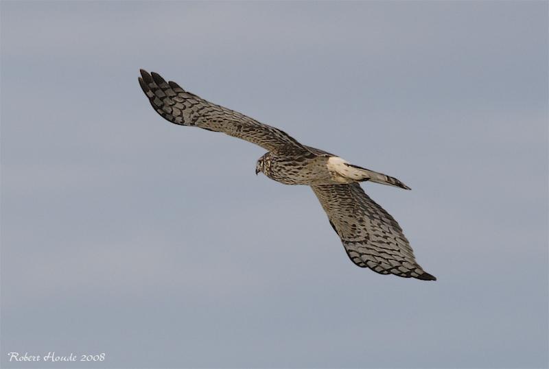Busard Saint-Martin -- _E0K3713 -- Northern Harrier