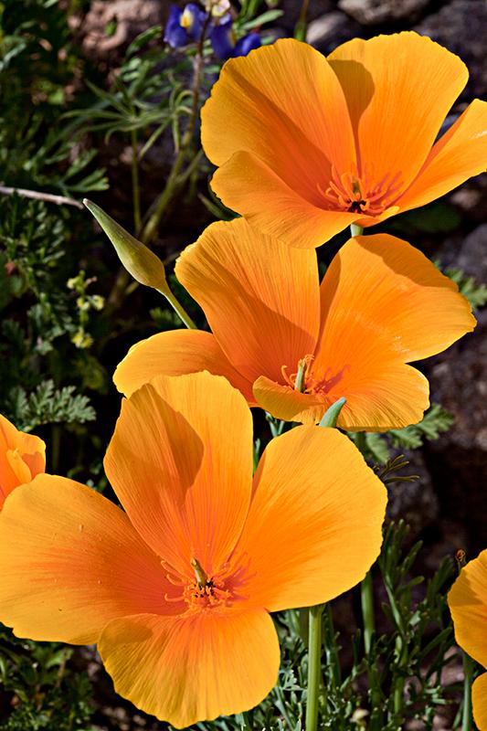 10-03 California Poppies (Picacho Peak State Park) 13.jpg
