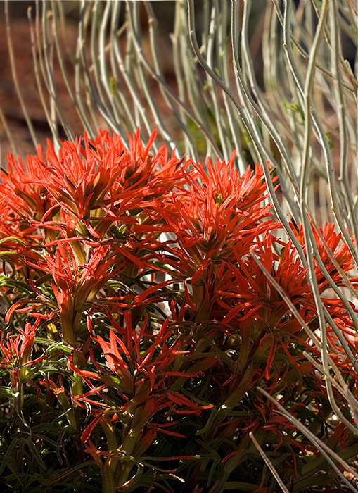 08-04 Indian Paintbrush (Arches NP) 03.JPG