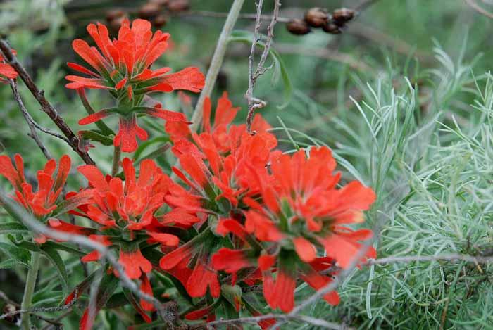Wildflowers of Mt. Diablo