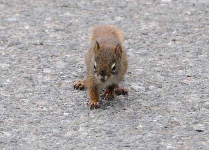 8 ounce squirrel takes on SUV