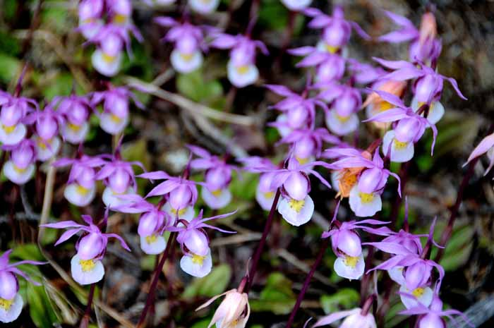 small showing of small wild orchids,Jasper NP