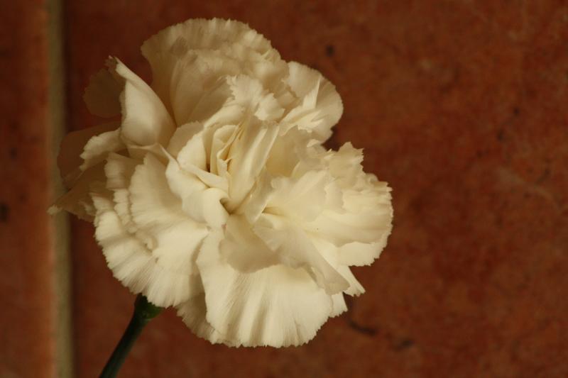 White carnation.jpg