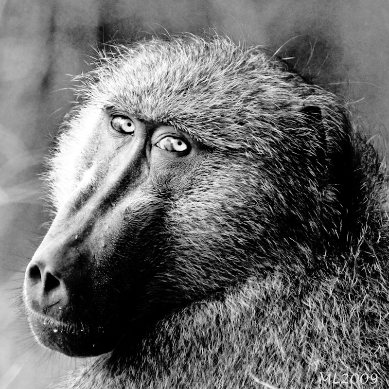 Africa in Black and White- Baboon