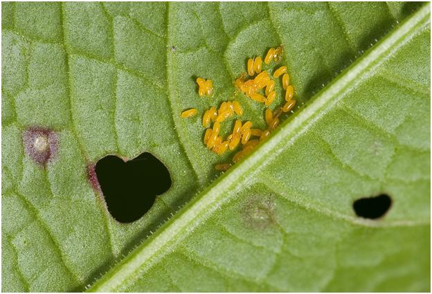 eitjes van het Zuringhaantje - Gastrophysa viridula