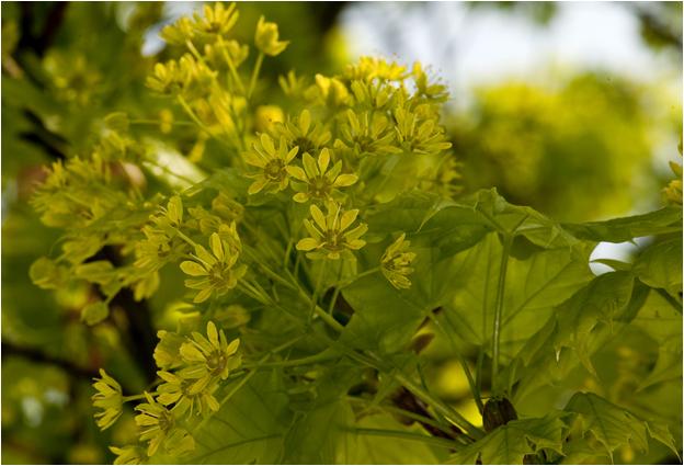 gewone Esdoorn - Acer pseudoplatanus - bloem