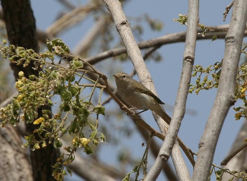 Western Bonellis Warbler - Bergfluiter