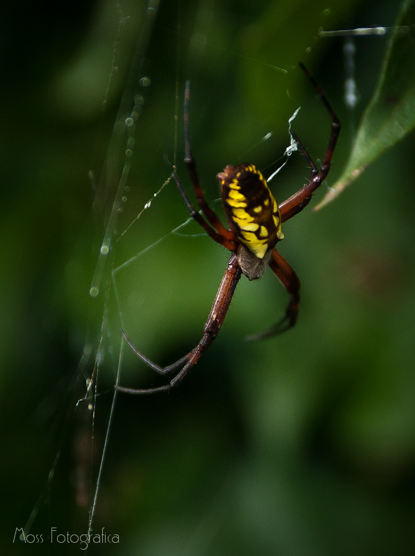 Green and Yellow Garden Spider