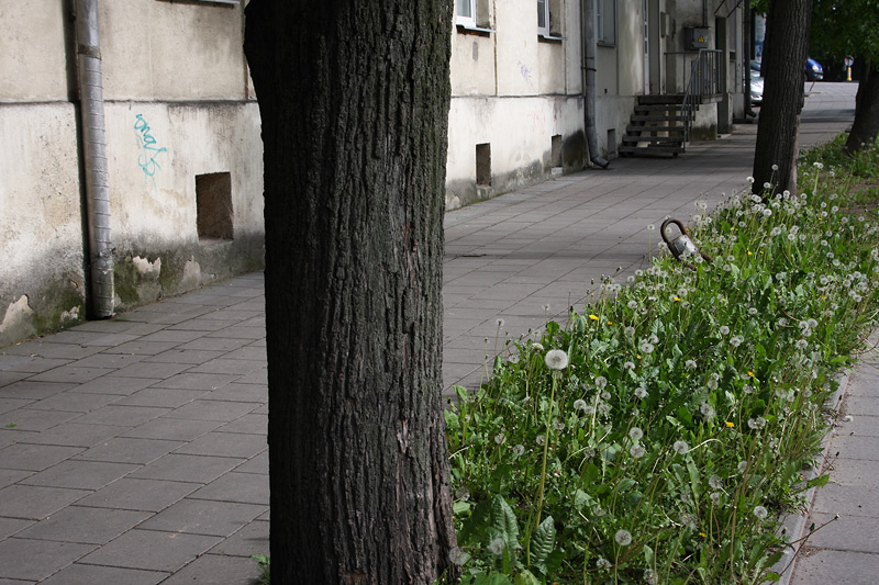 Wild flowers in Vilnius