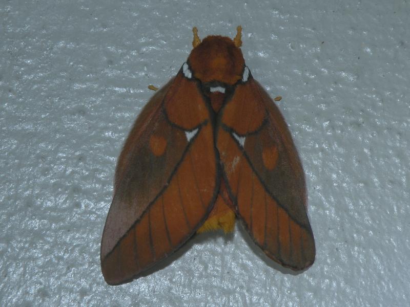 Schausiella polybia (Stoll, 1781)