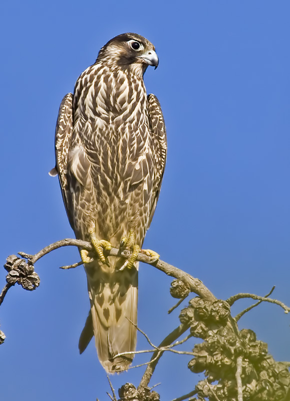 Peregrine Falcon <br> (Falco peregrinus)