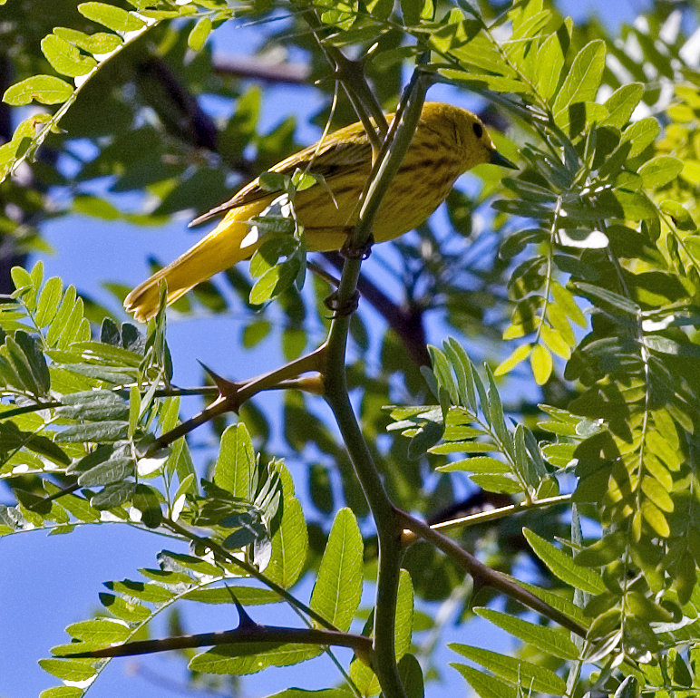 Yellow Warbler - (Male)