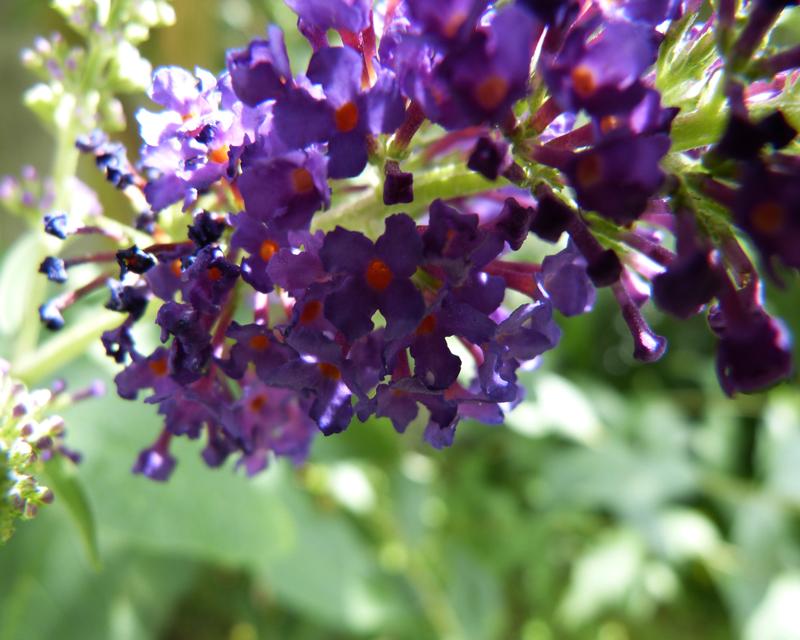 Fleur de buddleia