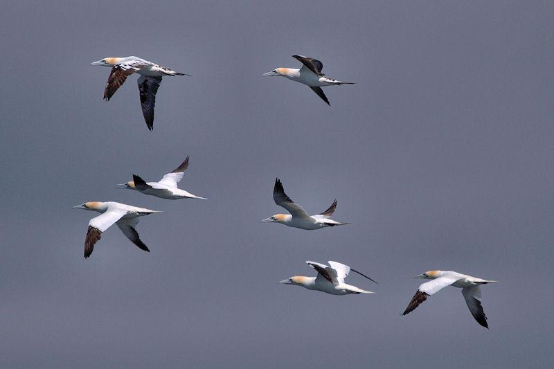 Flight of gannets
