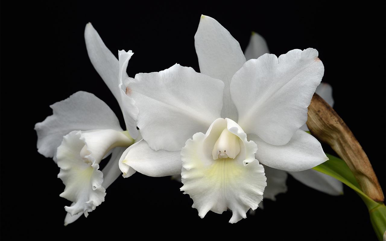 Cattleya Hawaiian Wedding Song