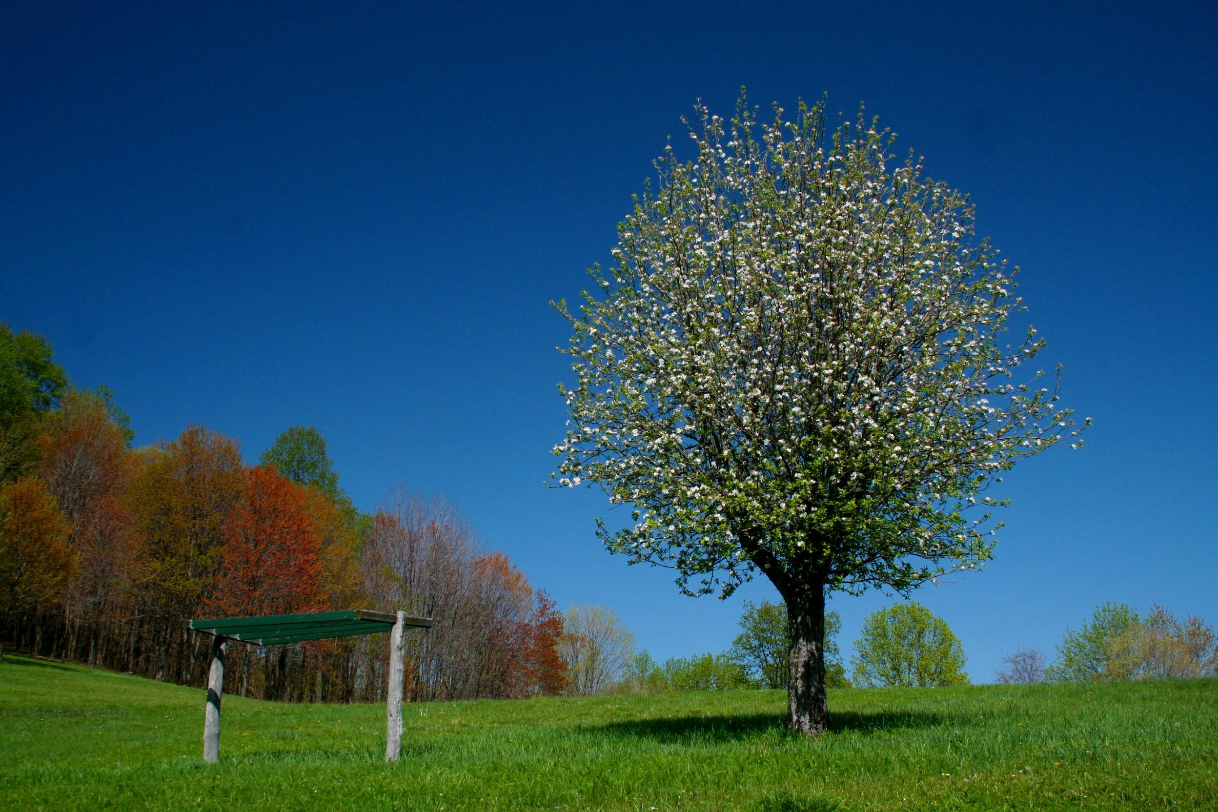 Apple Tree Blooming in Field (tb0508) photo - Thomas Bailey photos ...