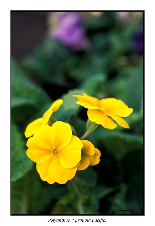 00081 polyanthus.jpg