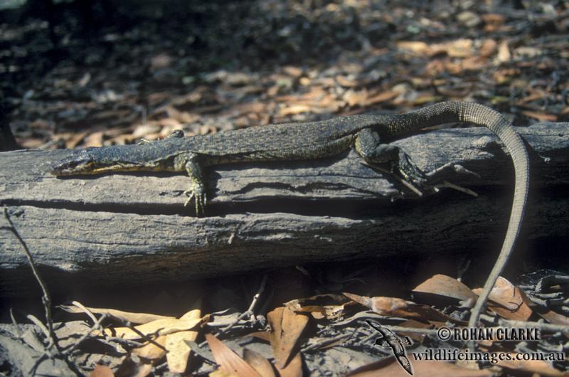 Mitchells Water Monitor - Varanus mitchelli
