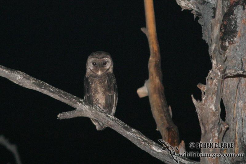 Sooty Owl 6167.jpg