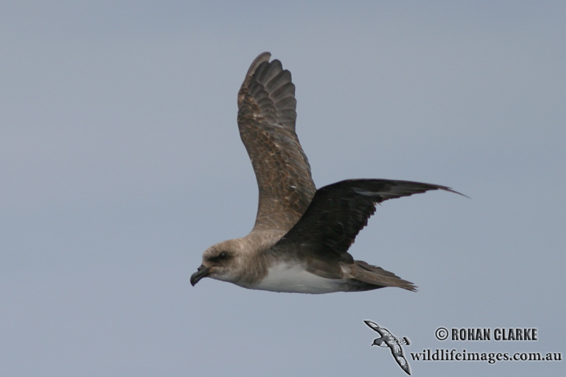 Atlantic Petrel 2112.jpg