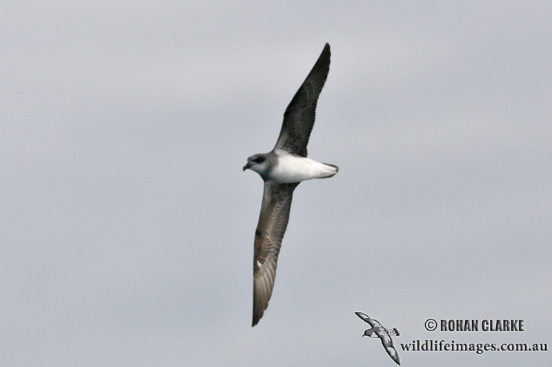 Soft-plumaged Petrel 6032.jpg